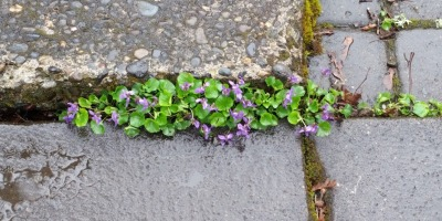 violets growing between stone pavers
